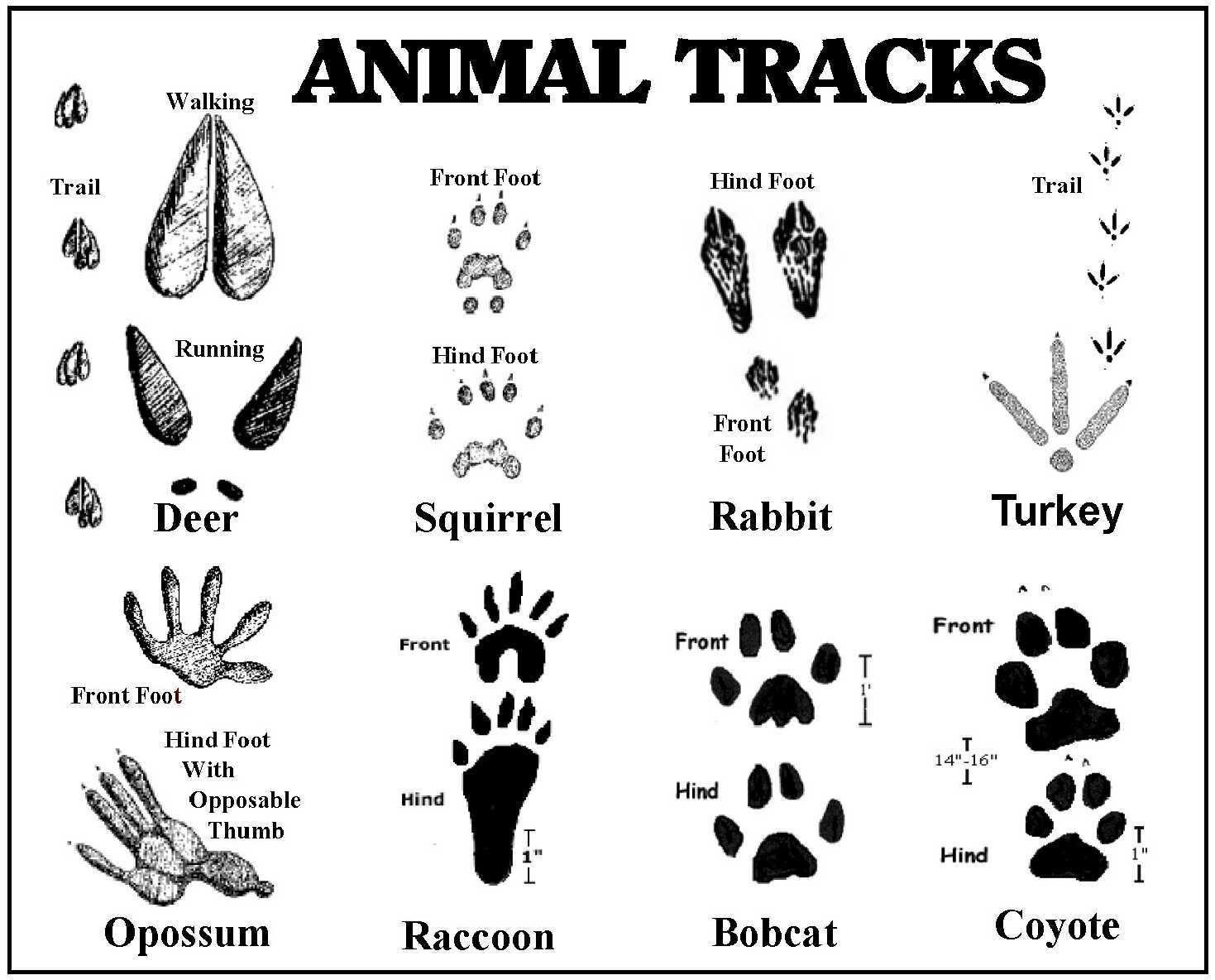 photograph relating to Free Printable Animal Tracks named Animal footprint coloring webpages